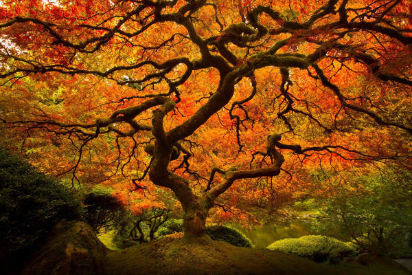 Japanese maple in the fall in Portland Oregon