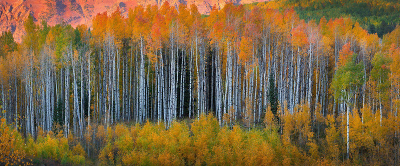 Autumn aspen grove in Kebler Pass, Colorado.