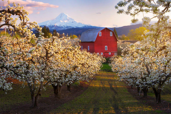A red barn in Hood River Oregon surrounded by blossoming trees