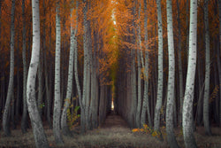 Fine art photograph of birch and aspen trees with beautiful fall color in Oregon. By Lijah Hanley.