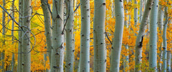 Photograph of aspen trees in autumn.