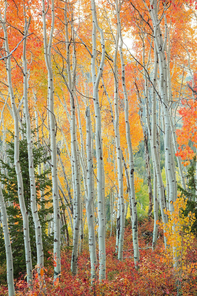 Amazing aspen trees in the fall by Lijah Hanley.