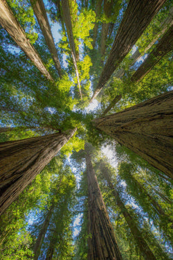 Looking up the trees in the Redwoods