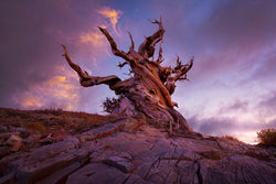 5,000 year old bristlecone pine in the White Mountains of California. By Lijah Hanley.