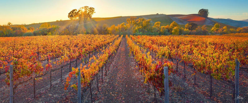 Vineyard in the fall, with orange autumn leaves, in Napa Valley, California.