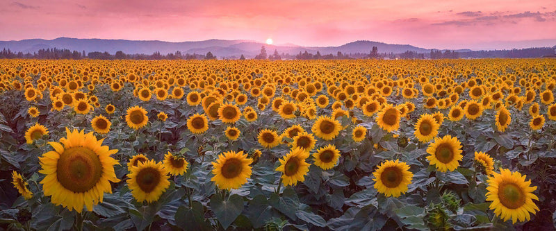 Photograph of a sunflower field in spokane washington at sunset.