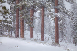 Ponderosa pines in Sisters, Oregon in the snow. By Lijah Hanley.