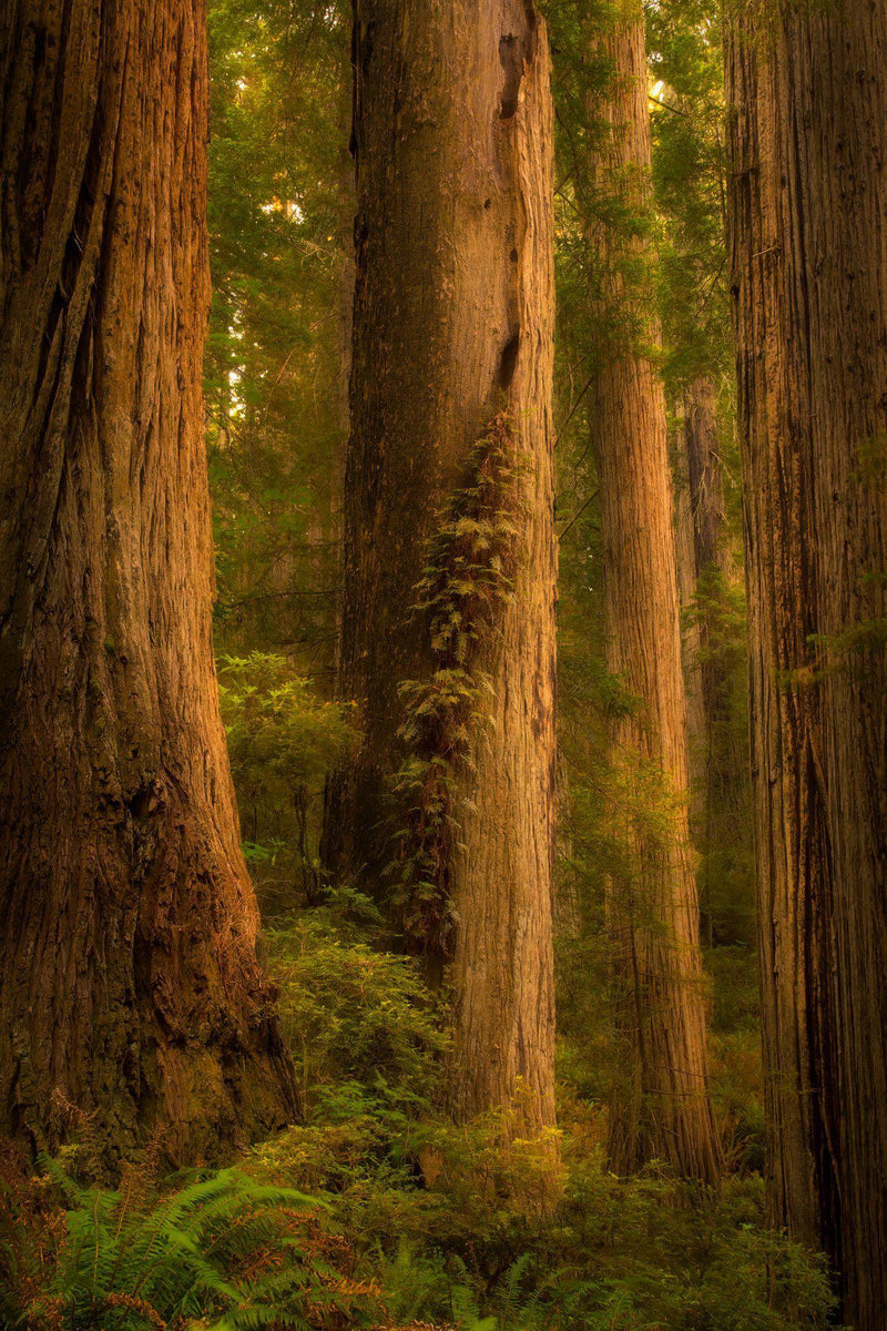 Redwood trees in sunset ljght in Redwood National Park in California. By Lijah Hanley.