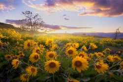 Balsam Root Sunflowers at sunset in Oregon