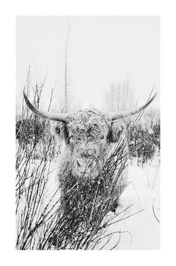 Fine art black and white photography of highland cattle by lijah Hanley.