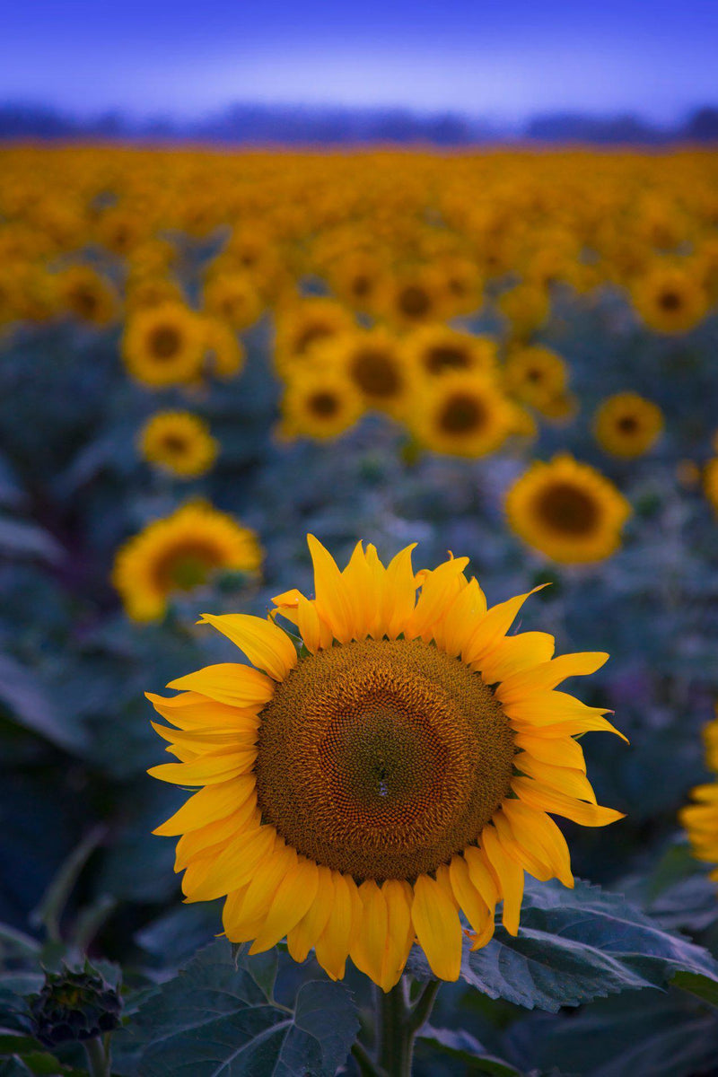 Sunflowers in Deer Valley Washington
