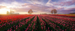 Photograph of rows of tulips at the wooden shoe tulip festival in oregon.