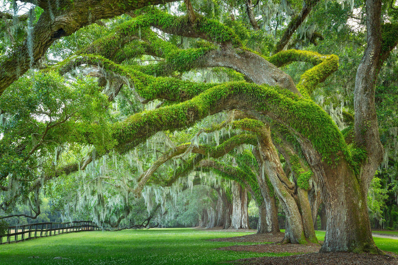 Oak trees with Spanish moss in Charleston South Carolina