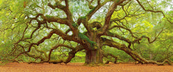 Fine art photograph of the Angel oak tree in Charleston South Carolina. Amazing trees.