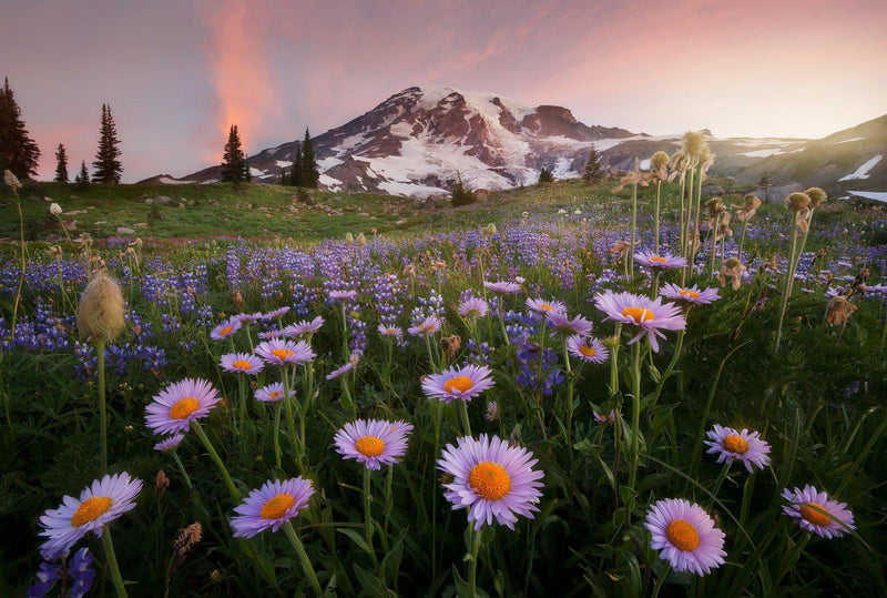 Alpine daisies at paradise meadows in Mount Rainier National Park. By Lijah Hanley.