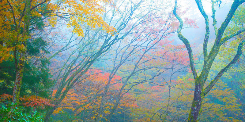 Fog and fall color in a forest in Minoo Japan, by Lijah Hanley.