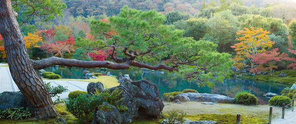 Photograph of a pine tree and fall color in a Japanese Garden in Kyoto.