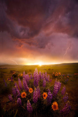 A thunderstorm over a field of flowers at sunset