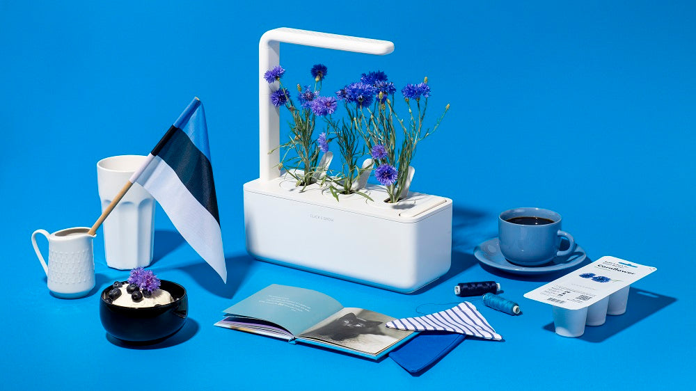 Estonian Independence Day & Growing Cornflower at Home