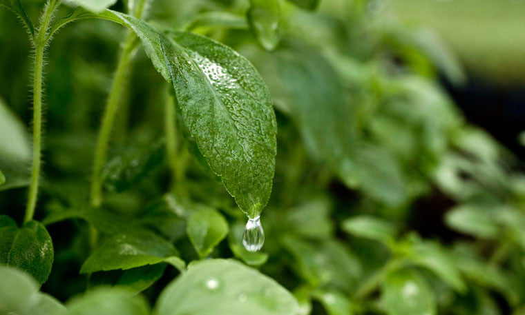 4 Uses For Fresh Stevia Leaves