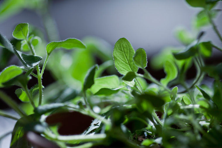 4+ Oregano Facts You Didn't Know