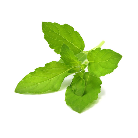 Click & Grow Holy Basil against a white backdrop.
