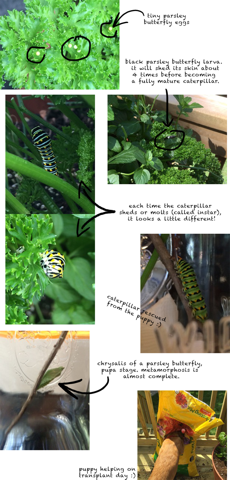 Attract butterflies with Click & Grow parsley