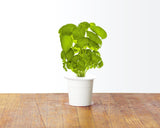 Italian Pesto Mix. Click & Grow indoor garden.