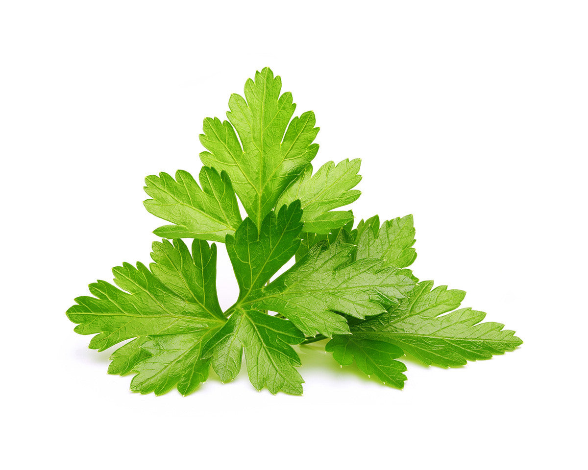 Image result for cilantro