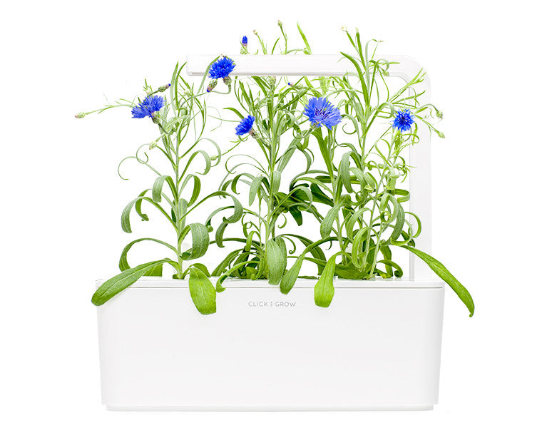 Cornflower - Grow superfood at home. Click & Grow indoor gardens