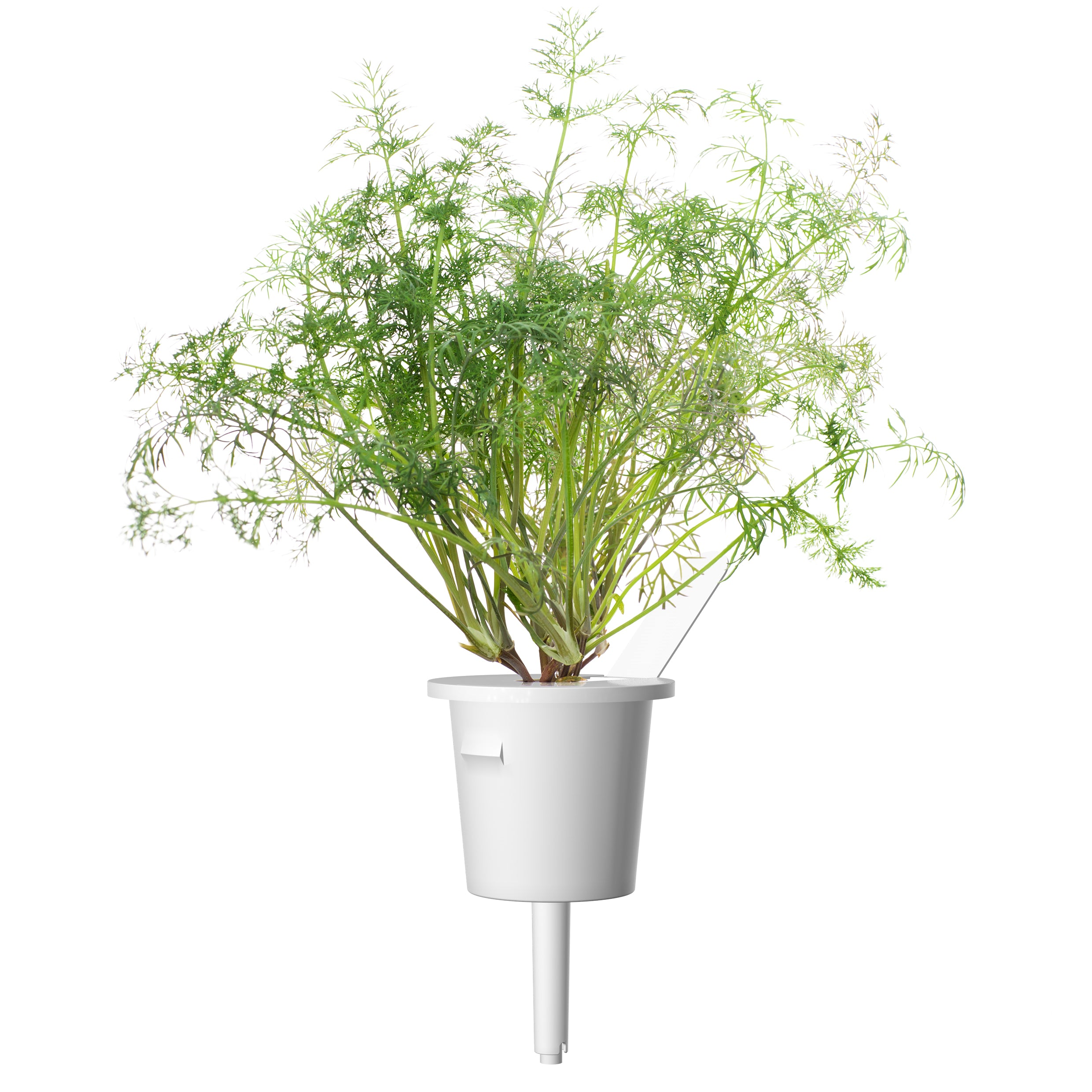 Dill (Anethum graveolens) plant pod - Click & Grow indoor garden - grow dill at home
