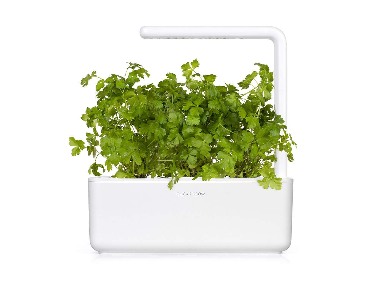 Parsley (Petroselinum crispum) capsule - Click & Grow indoor garden