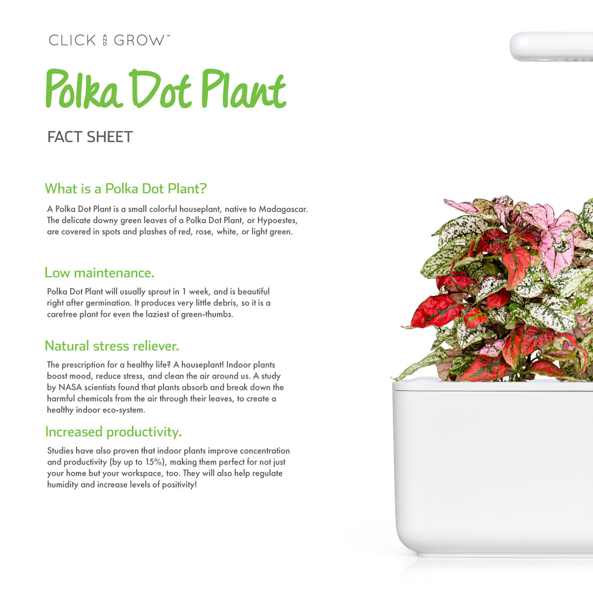 Polka Dot Flower (Hypoestes phyllostachya) - fact sheet. Click & Grow indoor garden.