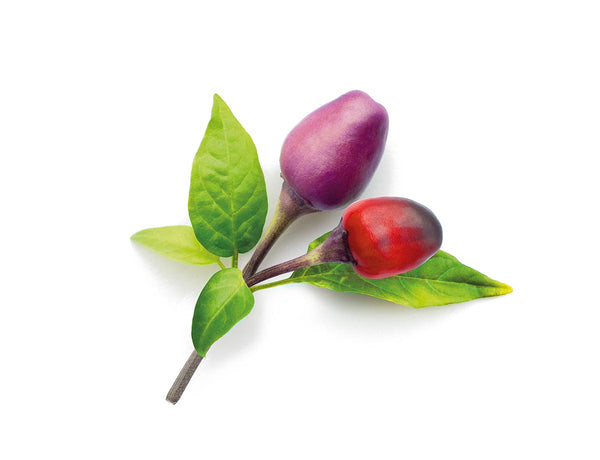 Purple Chili Pepper Plant Pods