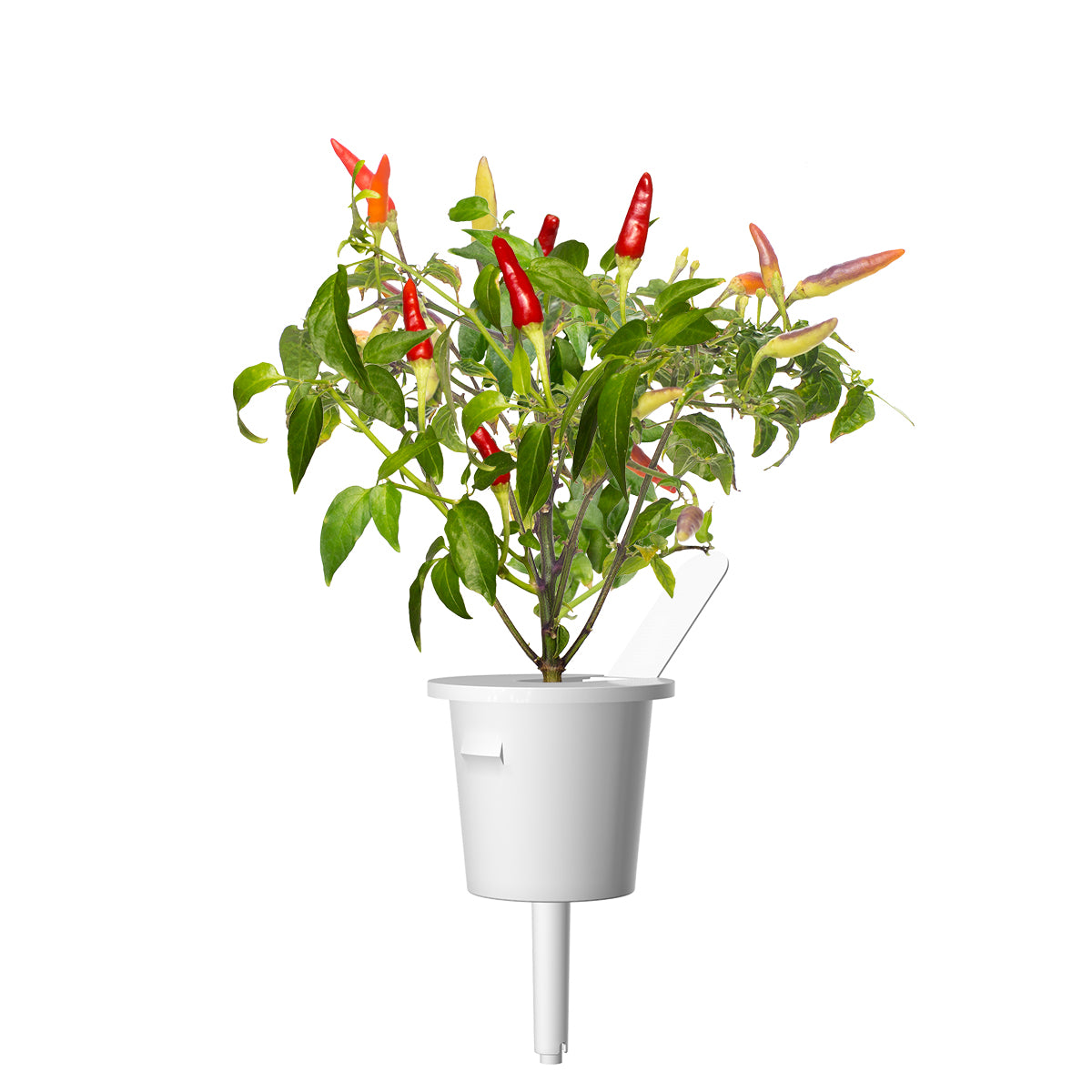 Red Hot Chili pepper plant pod - Click & Grow indoor herb garden - Grow Chili Pepper at home with an indoor garden