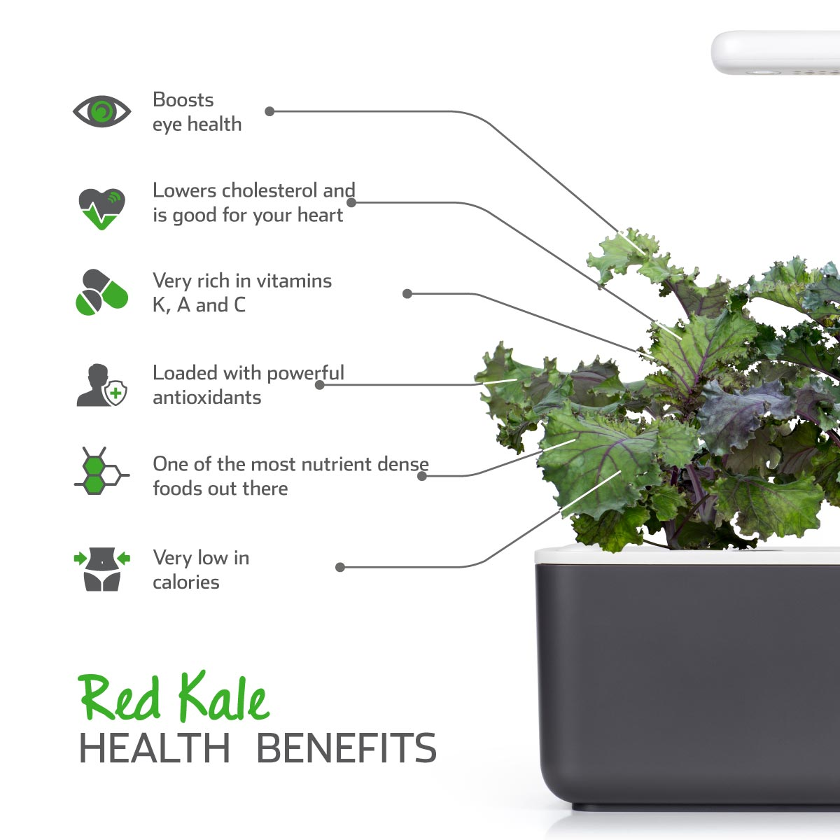Red Kale (Brassica oleracea) health benefits - Click & Grow indoor garden