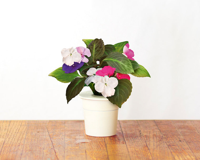 Impatiens - Grow superfood at home. Click & Grow