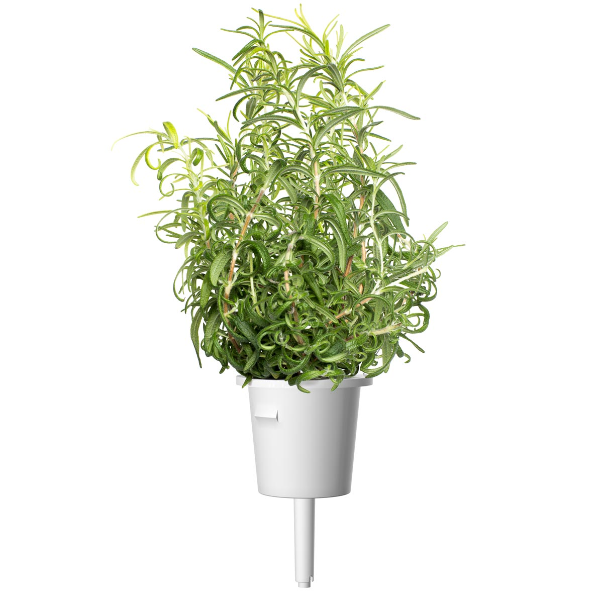 Plant pod. Growing rosemary (Rosmarinus officinalis) using Click & Grow's indoor garden. Cooking with Rosemary and Rosemary Oil Benefits.