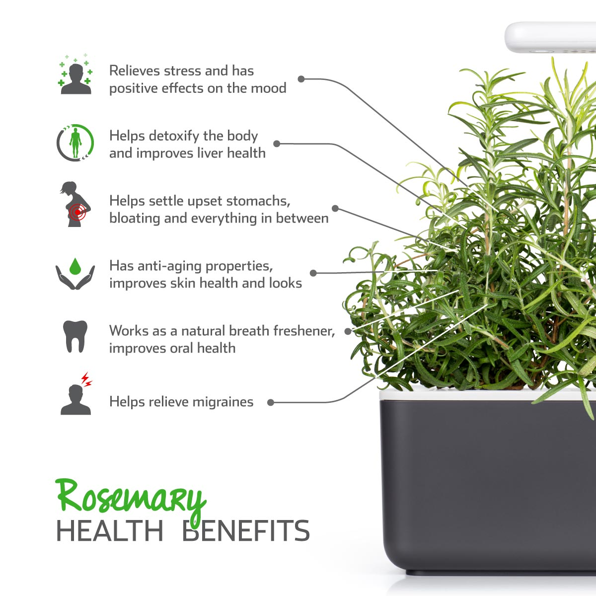 Rosemary (Rosmarinus officinalis) - health benefits. Click & Grow.