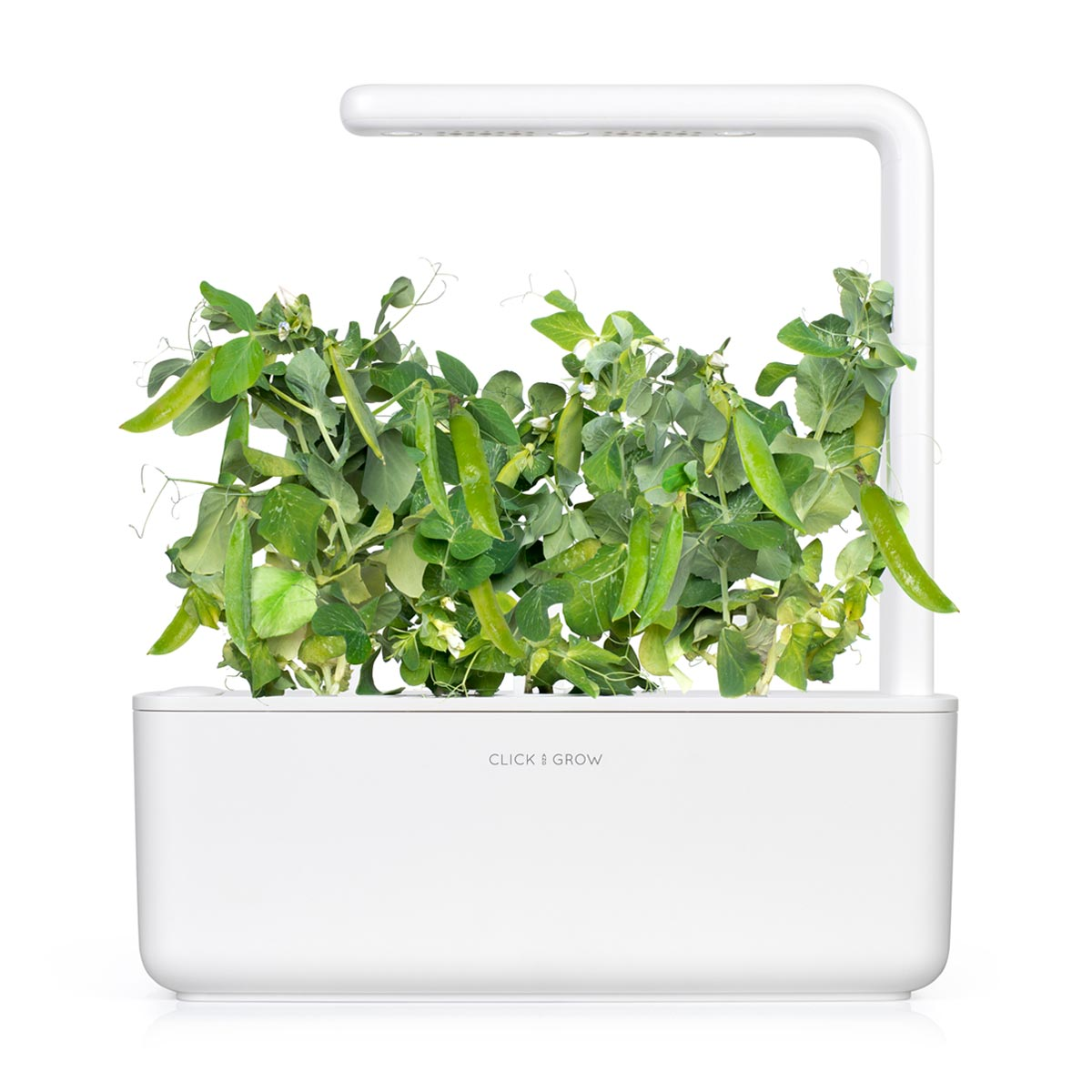 Grow Dwarf Pea At Home. Indoor Garden. Indoor Herb Garden.