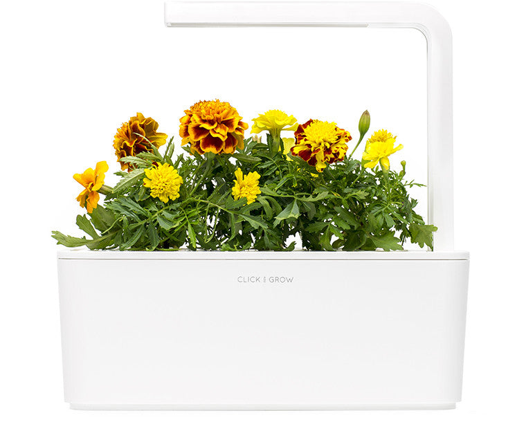 French Marigold- Grow your own food. Click & Grow
