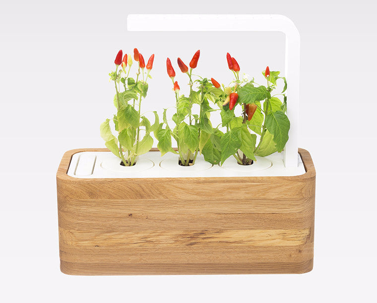 Smart Herb Garden with chili peppers in a white oak case