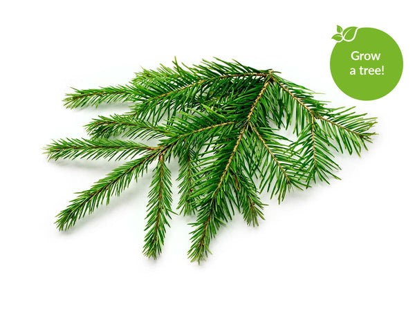Spruce - Grow trees at home. Click & Grow indoor gardens