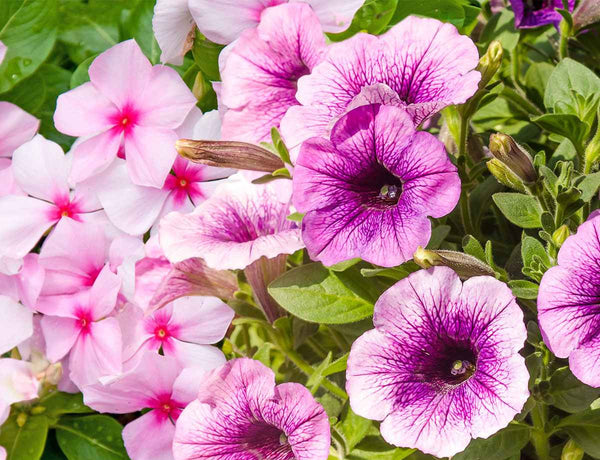 Vibrant petunias,busy lizzies and moss roses