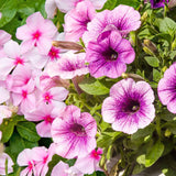 Vibrant petunias ,busy lizzies and moss roses. Click & Grow indoor garden.