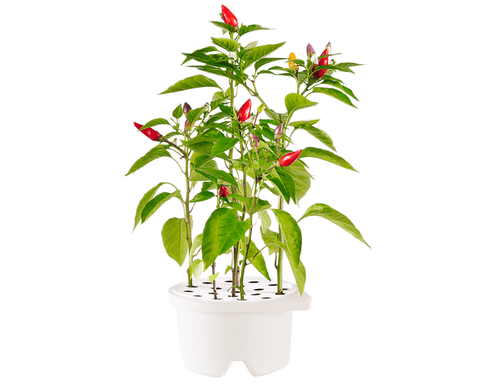 Chili Pepper Refill for Smart flowerbed