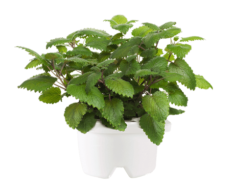 Lemon Balm Refill for Smart flowerbed