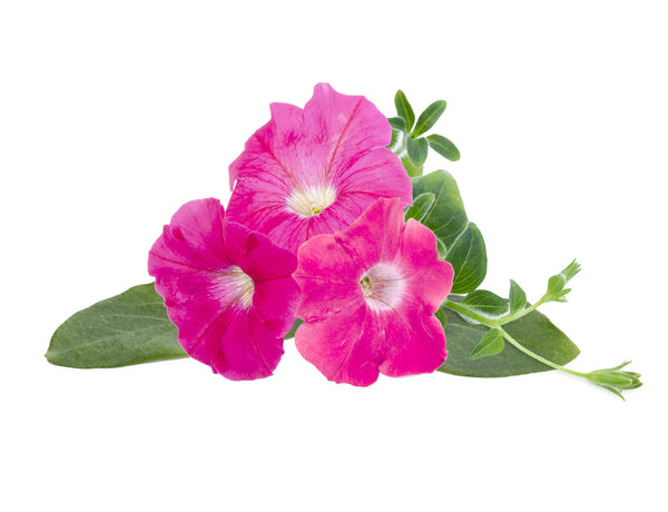 Pink Petunia Plant Pods