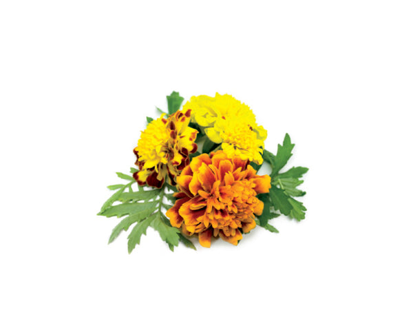 French Marigold 9-pack