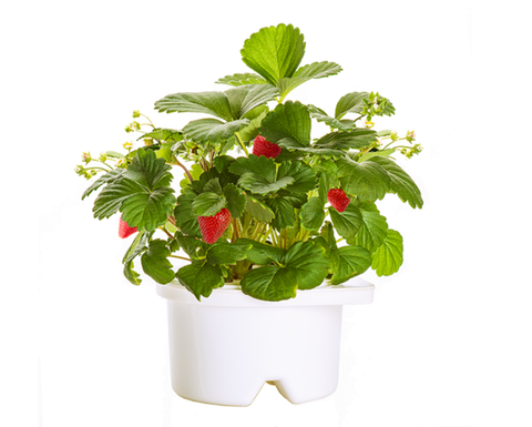 Strawberry Refill for Smart flowerbed